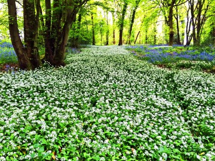 River of wild garlic