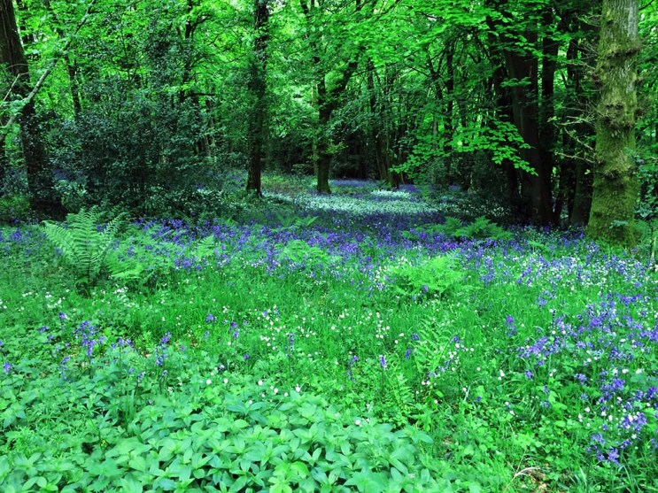 Ancient woodland on the hangers