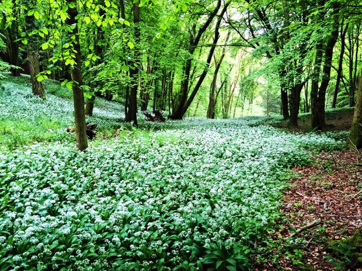 A carpet of wild garlic