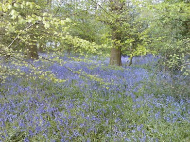 Bluebells in the Warren