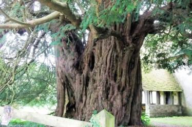 English Yew tree at Priors Dean Church